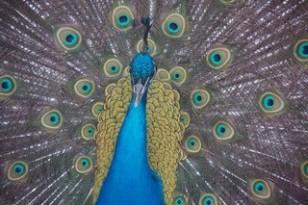 Peacock_Youtothezoo